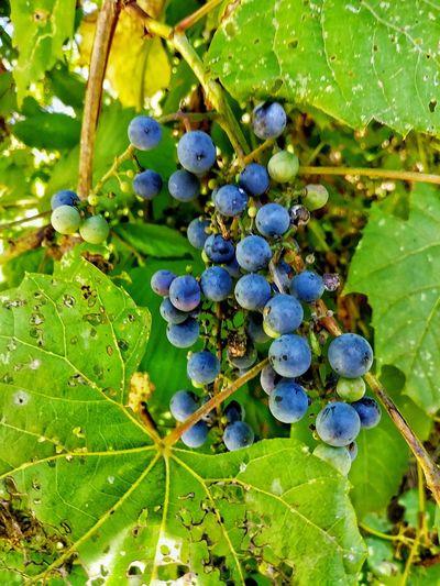 Blue Berry