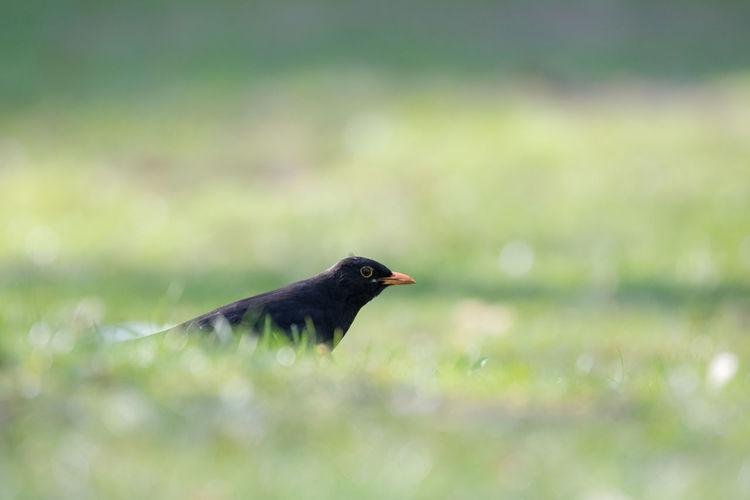 Close-Up Of Blackbird Perching On Grass