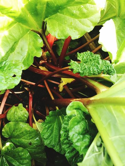 Rhubarb Leaf Green Color Growth Plant Close-up Nature Freshness Food And Drink No People Day Beauty In Nature Healthy Eating Outdoors EyeEmNewHere