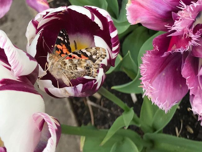 Animal Markings Insect Pollinators Beauty In Nature Garden Love Butterfly Regal Wings & Things Flower Garden Photography Butterflies Close-up Tulips One Animal Animals In The Wild Petal Fragility Beauty Fascinating