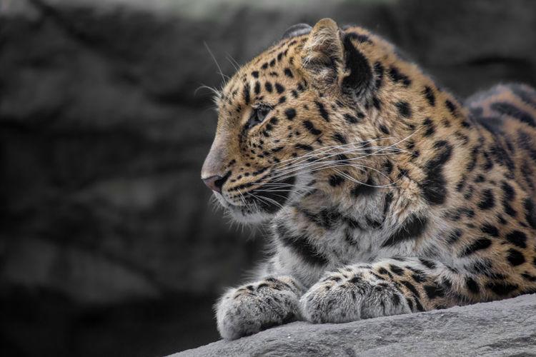 Leopard Cheetah