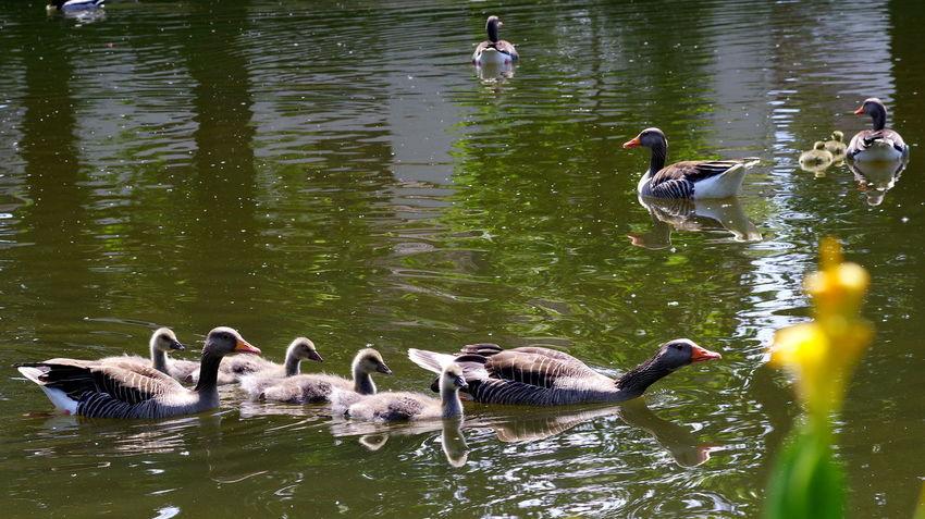 Idylle am Schwanenteich Schwanenteich Graugänse EyeEm Deutschland PENTAX KP Streamzoofamily For You ;-) Musm Family Time Bird Water Swimming Lake Water Bird Greylag Goose Goose