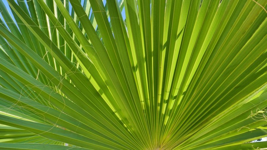 Green Color Leaf Plant Part Backgrounds Palm Leaf Beauty In Nature Plant Growth Nature Tropical Climate Close-up No People Palm Tree Tree Freshness Full Frame Natural Pattern Outdoors Day Sunlight
