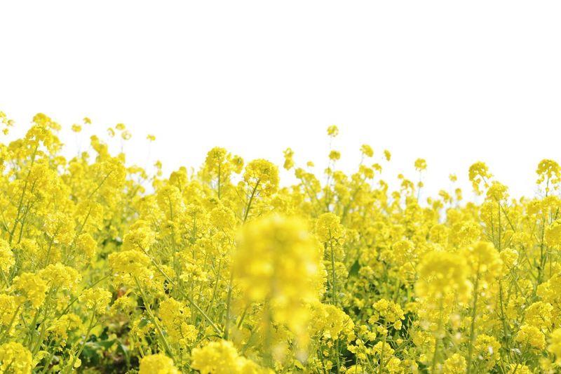 菜の花 Flower Nikon
