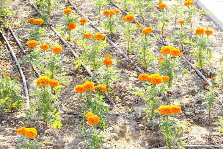 Orangeflowers Flowerpower🌸 Flowerinthecity Desertflower Photography Nature Photo♡ Flowermagic Beauty In Nature Flowers 🌸🌸🌸