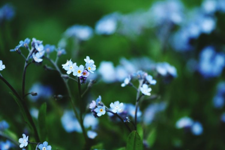 Close-up of forget-me-not flowers growing at park