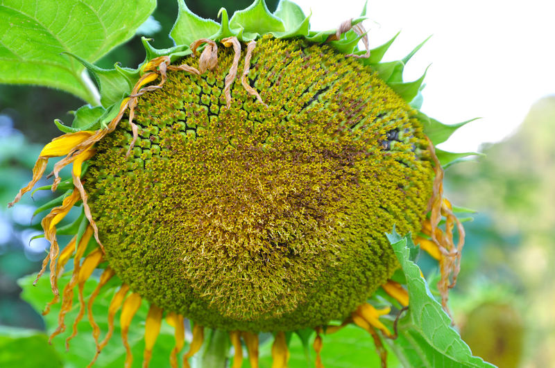Close-up sunflower Yellow Flower Sunflower Nature Plant Social Issues No People Close-up Focus On Foreground Outdoors Beauty In Nature Day