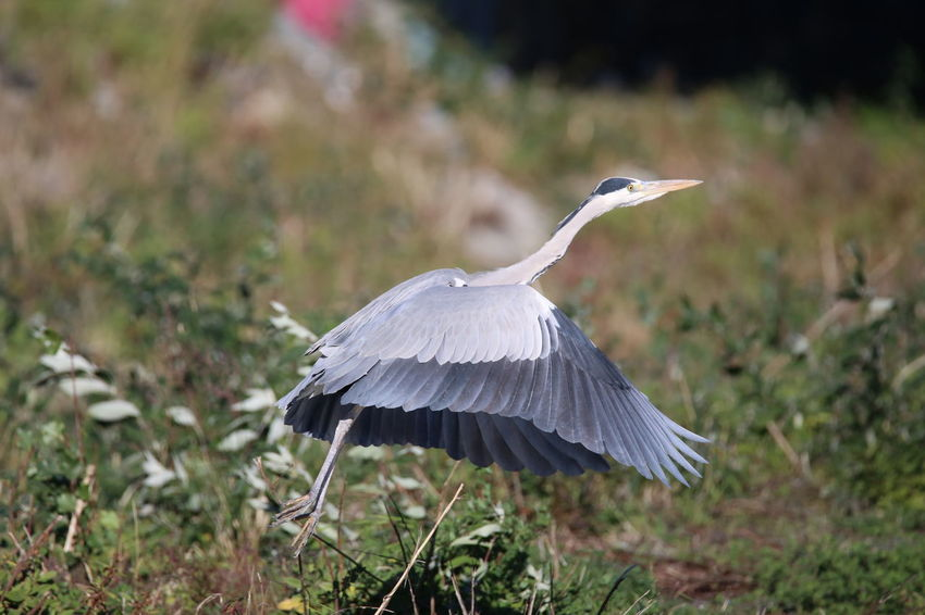 Airone Cenerino Birdwatching Bird Animal Wildlife One Animal Outdoors Day No People Spread Wings Nature Beauty In Nature