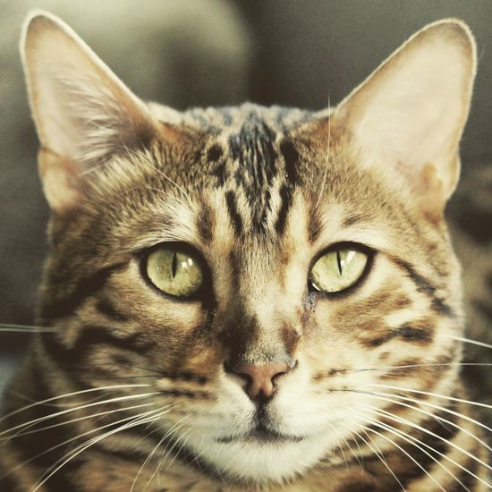 Animal Themes Close-up Day Domestic Animals Domestic Cat Feline Focus On Foreground Indoors  Looking At Camera Mammal No People One Animal Pets Portrait Whisker