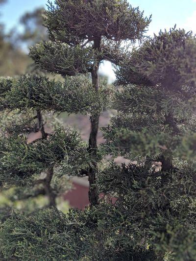 little treeas