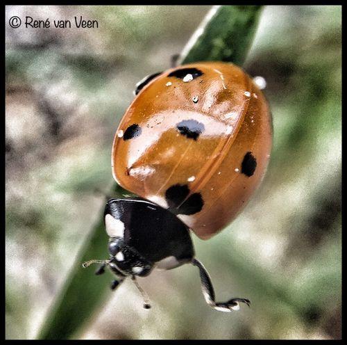 Bugs! Macro Closeup Lieveheersbeestje IPhoneography Olloclip Olloclip_macro