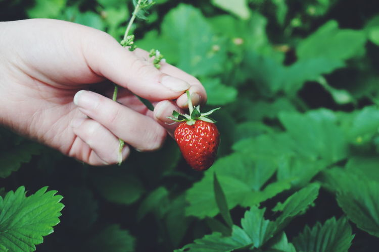 Cropped hand on woman harvesting strawberry at farm