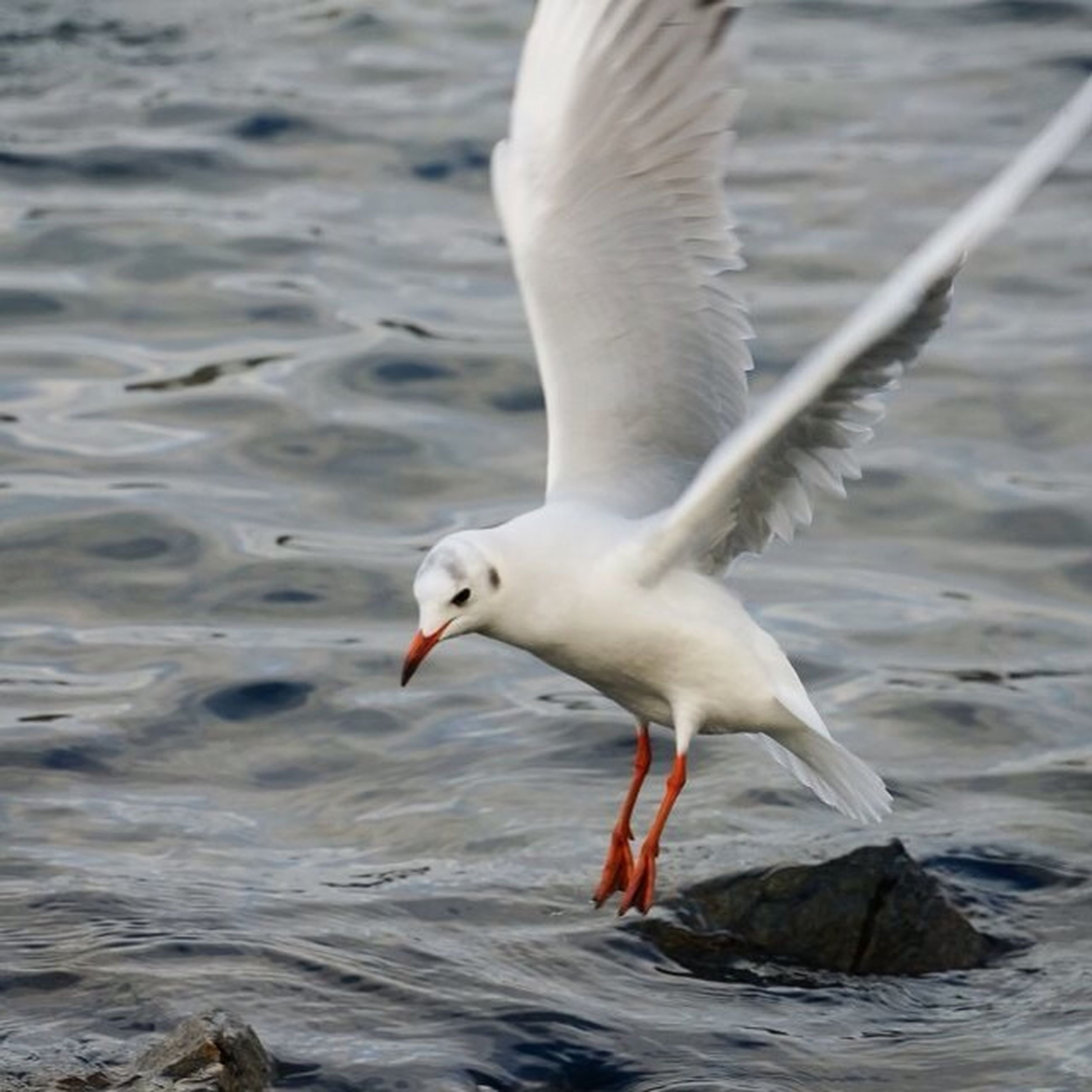 bird, animal themes, animals in the wild, water, wildlife, one animal, spread wings, flying, seagull, waterfront, white color, lake, nature, sea, motion, rippled, focus on foreground, mid-air, swimming, outdoors