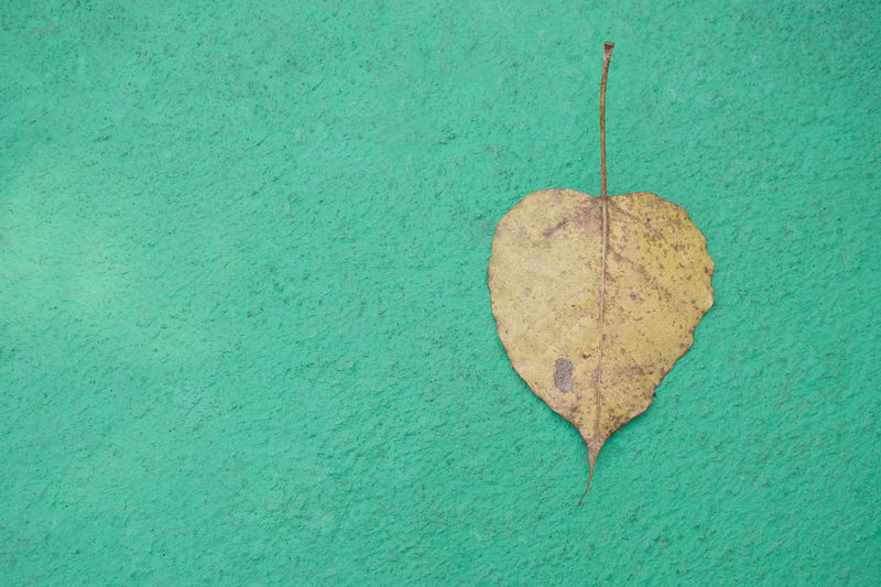 Dry Ficus religiosa or Sacred fig on green cement as background. Agriculture Green Background Cement Close-up Copy Space Dry Fall Ficus Religiosa Ground Heart Shape Leaf Sacred Fig Texture