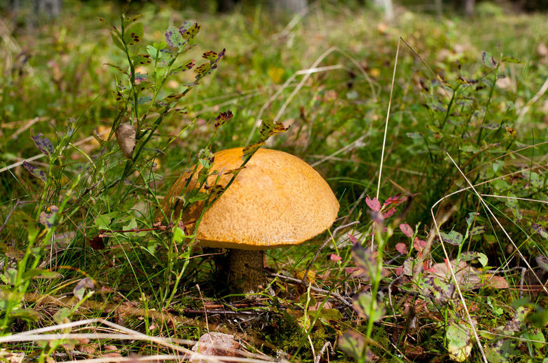 Single big Leccinum boletus ripe mushroom grow in forest, rainy weather, water drop on cap, open air, horizontal orientation, nobody. BIG Boletaceae Boletus Cap Edible  Fungus Grass Groundcover Grow Growing Leccinum Mushroom Nature No People Raw Undergrowth Woods