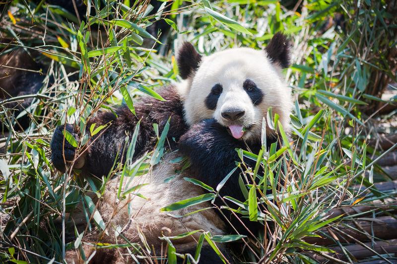 Close-up of panda eating plants