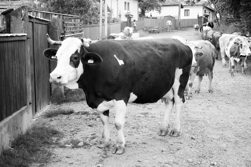 2014 Blackandwhite Cow Domestic Animals Eye4photography  Farm Fence Mammal Powder Standing Summer Transylvania Traveling Vacation Village Working Animal Énlaka