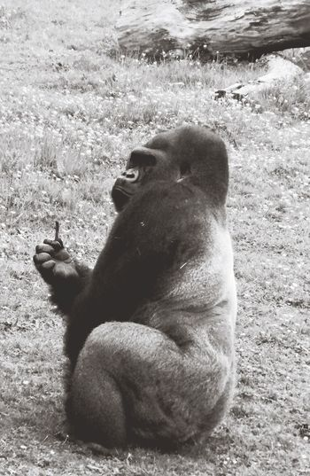 Silverback Gorilla Port Lympne Hanging Out Animal Photography Black & White