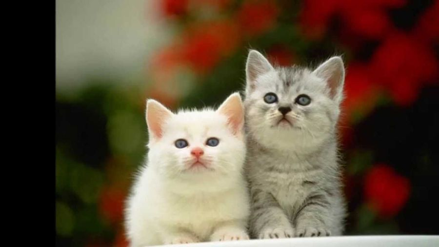 top chat Chaton ♥ Animal Cat Lovers Cat♡ Chatons Les Chats Top Animal Top Chaton First Eyeem Photo