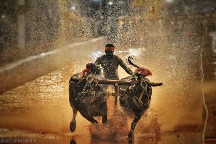 this is called kambla. itz an indian tradition ... especially seen in south karnataka... the game is like this oneguy have to run holding two bulls in water . while running the water spashes as u can see in image . one whose splash is high he wins🔥🔥!! Indian Culture  Tulunadu Kambla Bull Watersports Viral Hitting EyeEm Best Shots EyeEmNewHere