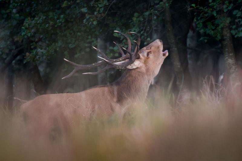 Deer rutting Deer Bull Animal Animal Wildlife Animals In The Wild Deer Rutting Forest Mammal Nature