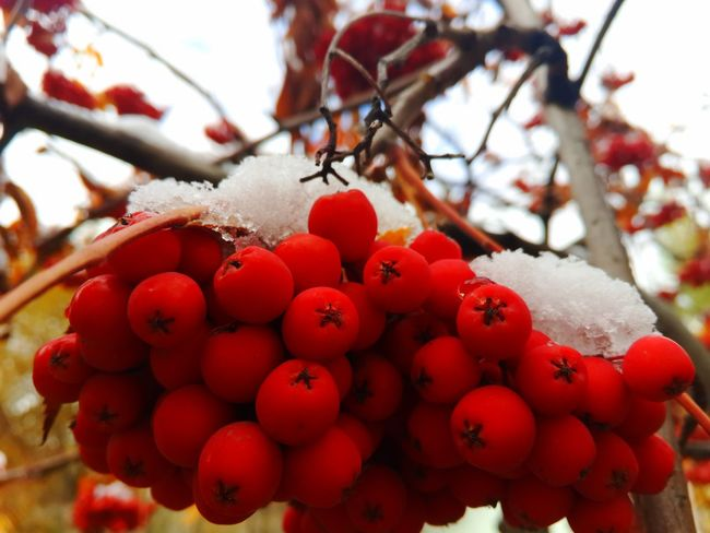 Первый снег/The first snow. Snow Samara Berry Red Photography Photographer Bestoftheday Nature Photography EyeEm Best Shots NaturephotographyBeauty In Nature Photoshoot EyeEmBestPics EyeEm Best Shots - Nature