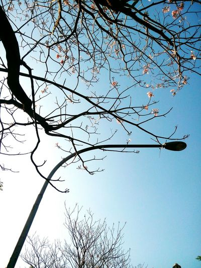 Low Angle View Nature Tree Branch Sky Beauty In Nature No People Outdoors Clear Sky Growth Day Tranquility Trees Awesome_shots EyeEm Best Shots Azure Sky Beautiful Streetlight Noleaves BareTrees Flowers Pinkflower🌸 Awesome EyeEm Gallery EyeEm Nature Lover EyeEmNewHere