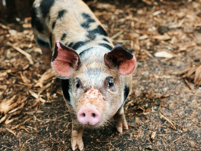 Close-up portrait of pig standing on land