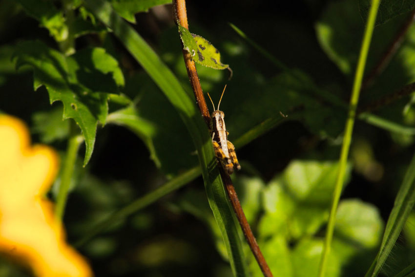 The Grasshopper, Chow time Beauty In Nature Close-up Focus On Foreground Grasshopper Insect Leaf Nature Outdoors Plant