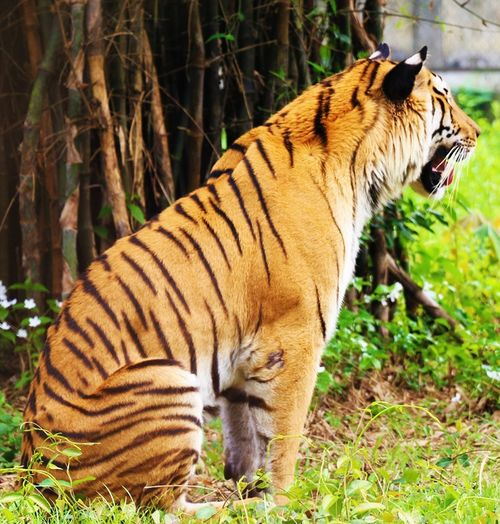 One Animal Animals In The Wild Tiger Animal Wildlife Nature Animal Themes Side View No People Outdoors Day Mammal Endangered Species Full Length Tree Close-up Tiger-love Tigers The Week On EyeEm Tiger Endangered Species Grass Full Length The Great Outdoors - 2017 EyeEm Awards Hills, Mountains, Sky, Clouds, Sun, River, Limpid, Blue, Earth Animals In The Wild Low Angle View Save The Tiger📷😊🐯🐅 Save The Tigers
