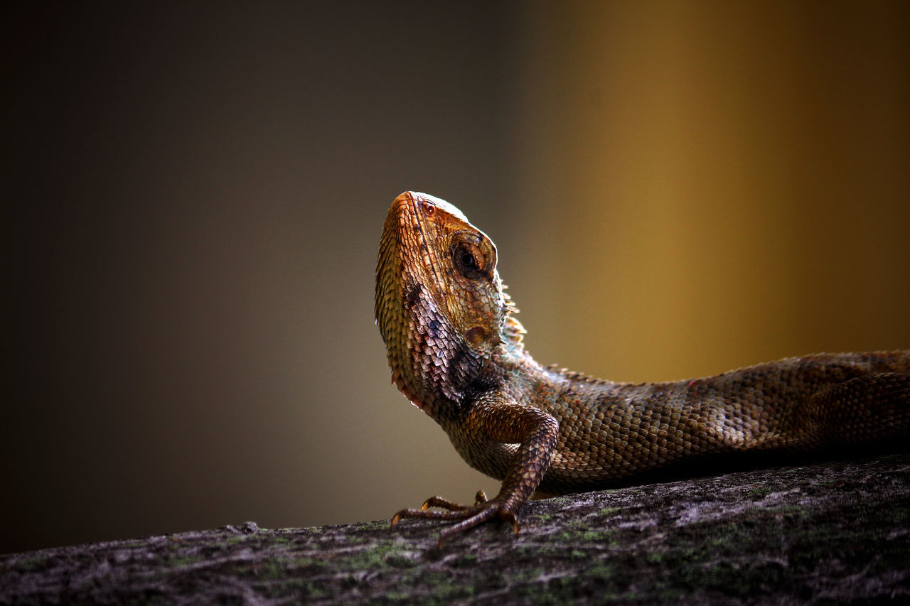 one animal, reptile, animal themes, animals in the wild, animal wildlife, no people, nature, day, outdoors, close-up