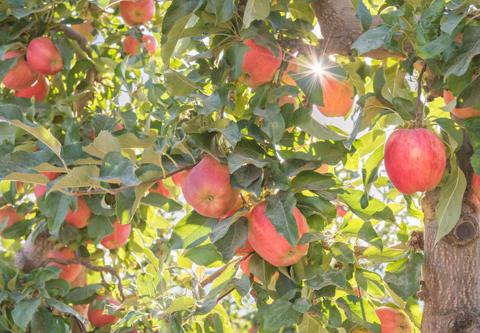 Red apples and golden autumn sunshine in orchard Afternoon Agriculture Apple Autumn Branches British Columbia, Canada Naramata Naramata Bench September Sunshine ☀ Tree Apple Trees  Apples Close-up Food Food And Drink Fruit Harvest Orchard Red Apples Ripe South Okanagan Sun Flare Sunlight Sunshine