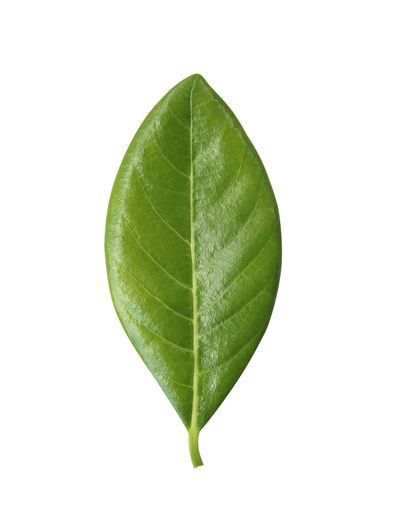 High angle view of leaf against white background