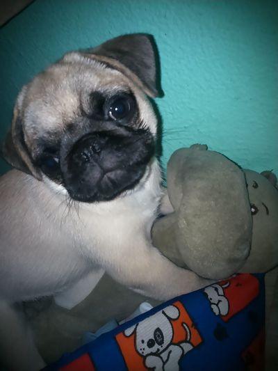 Nick Girlfriend Amomeupug Pug ❤