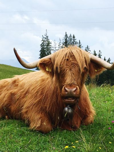 Cow Switzerland Tourist Attraction  Bull Cow Animal Themes Animal Mammal Plant Domestic Animals Vertebrate One Animal