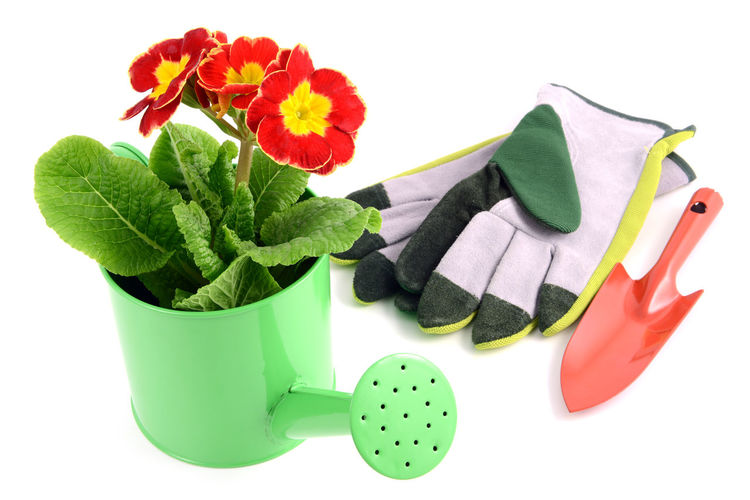 red primula flower in a water cat pot. garden gloves and shove aside. white isolated background Gardening Tools Shovel Gloves Red Flower Gardening Flowerpot Isolated White Background Isolated Red Flowers Primeln Primula Primrose Watercan Giesskanne