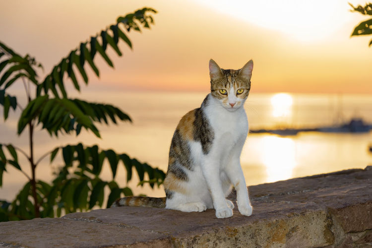 Portrait of cat sitting on retaining wall by sea against sky during sunset
