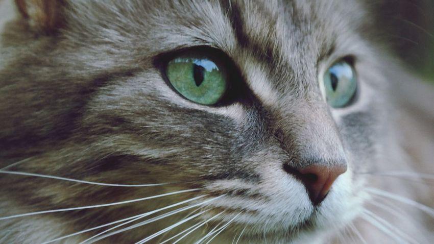 Cat Animals Home Eyes