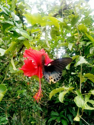 from the butterfly series 2017 Animal Themes Animals In The Wild Beauty In Nature Blackbutterfly Blossom Butterfly Creation Day Ecology Freshness Growth INDONESIA Jungle Leaf Nature No People One Animal Outdoors Planetearth Plant Red Seduction Spread Wings Sumatra  Transportation