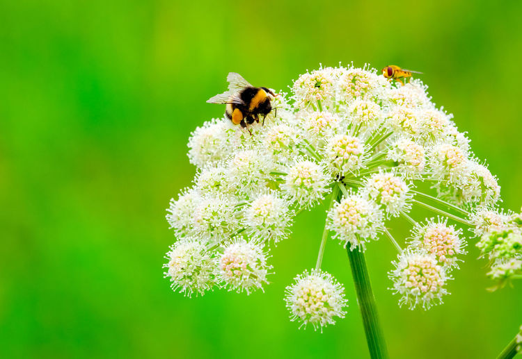 Bumblebee Animal Animal Themes Animal Wildlife Animals In The Wild Close-up Flower Insect No People One Animal Outdoors Plant