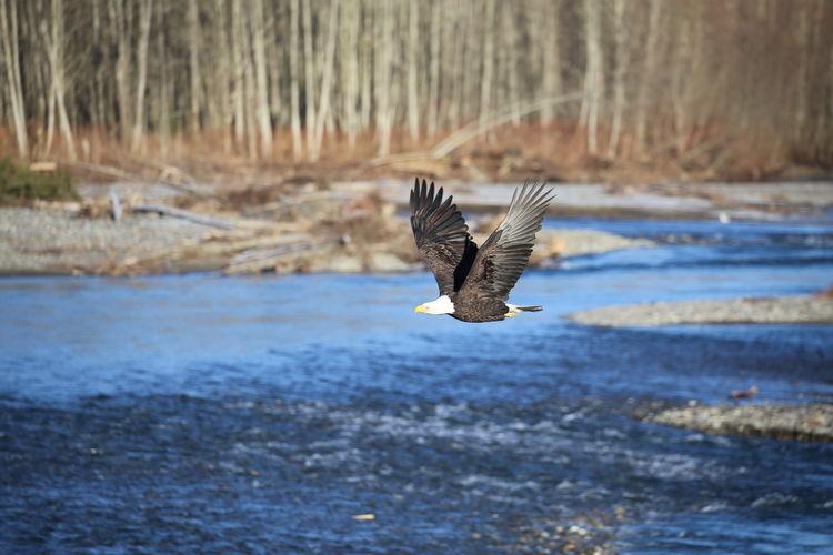Bald Eagle Flying Over River