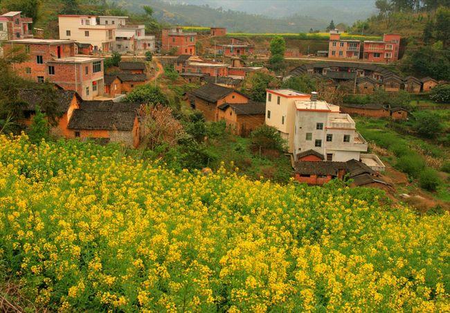 RapeFlowers Nature Fresh On Eyeem  Hello World Nature Photography AprilHdrphotography Hdr_lovers Flowers Lover Oldbuilding Meizhou