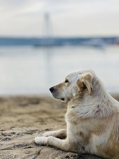 Dog looking away while sitting on beach