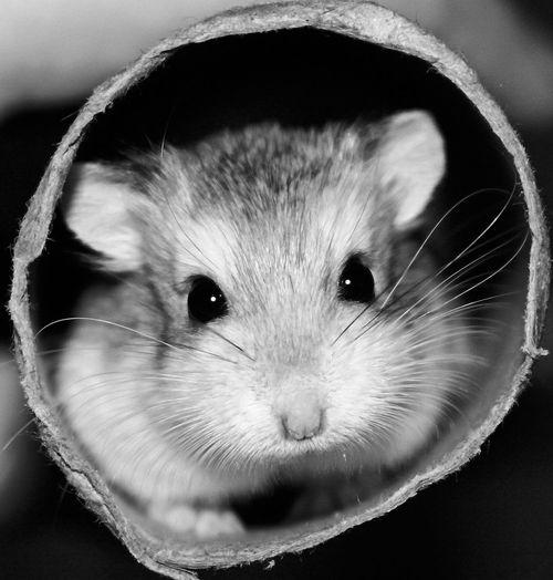 Hamster Cute Pets Blackandwhite Photography Cuteeyes Petlover Animallove Animal Photography Pets