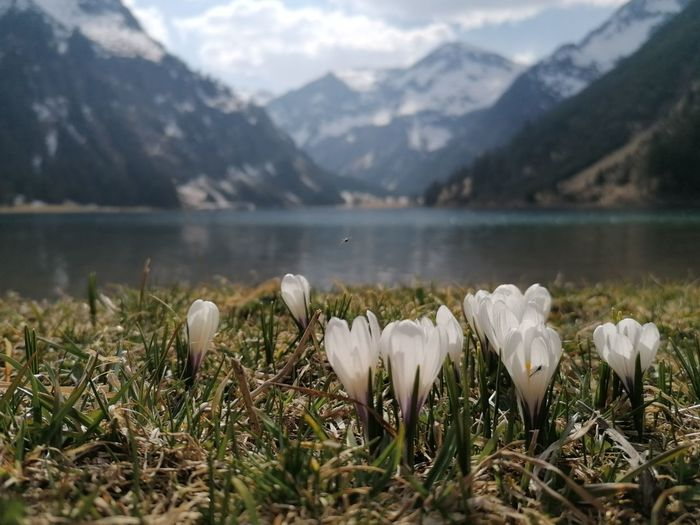 White flowering plants by lake against mountains