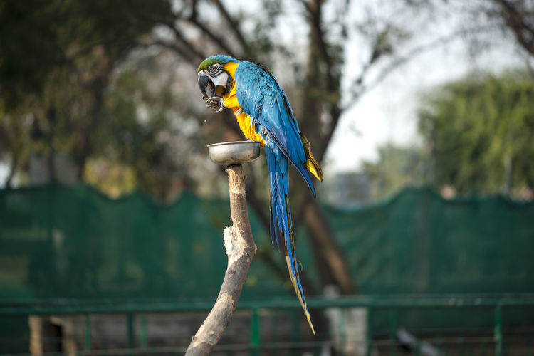 The blue and yellow macaw is a member of the large group of neotropical parrots