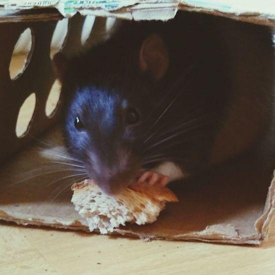 Skippi ʟᴏᴠᴇɪᴛ Ratties Rattie ᴘʜᴏᴛᴏ Pet Animal Sweet Cutie Picoftheday Eyeem X Whitewall: Animals Instagram Rat Rats Ratte Home Animals Ratlover Ratstagram ᴘʜᴏᴛᴏɢʀᴀᴘʜɪᴇ