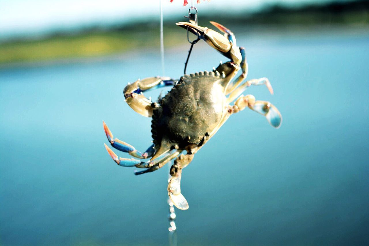 Close-Up Of Crab On Fishing Line