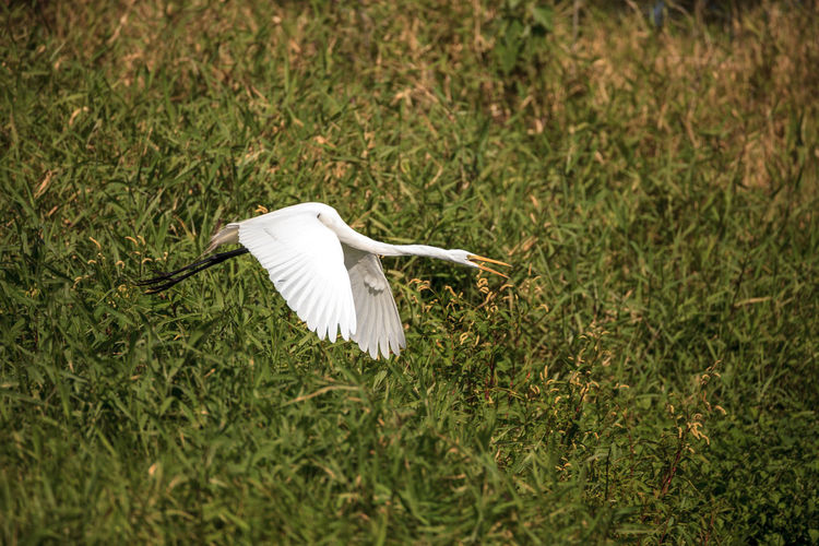 White bird flying over a field