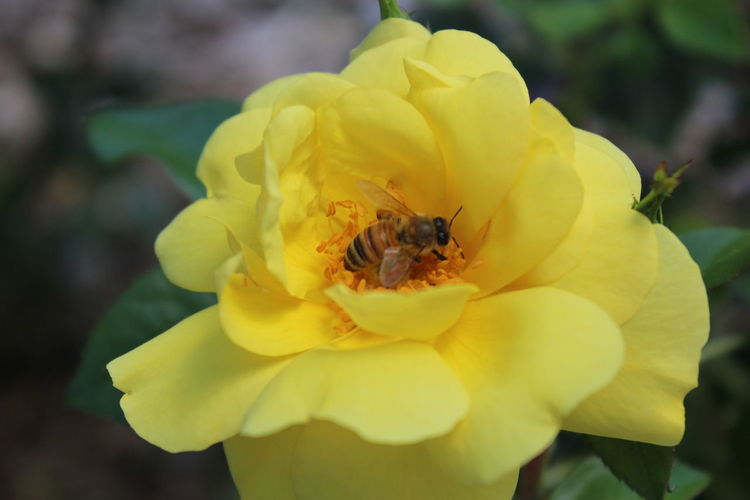 Bee Yellow Animal Wildlife Beauty In Nature Bee Close-up Flower Flower Head Flowering Plant Freshness Growth Insect Outdoors Petal Pollen Pollination Yellow